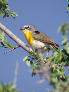 Yellow-breasted Chat by Mary Scott