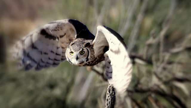 Owl at Raptor Free Flight at Arizona-Sonora Desert Museum