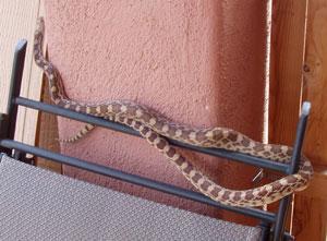 Sonoran Gopher Snake