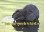 San Pedro River Beaver
