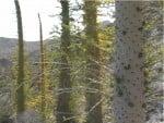 Boojum Trees