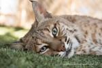 Wilbur Bobcat is Tucson Wildlife Center's ambassador and mascot.