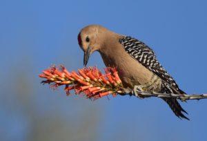Male Gila Woodpecker