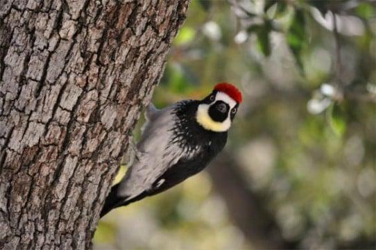 Madera Canyon Arizona: an acorn woodpecker.