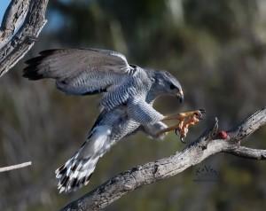 Gray Hawk by Raven