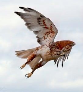 Ferruginous Hawk. Photo by Raven Bifrost.