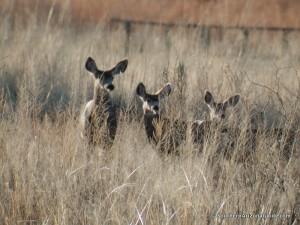 Arivaca Cienega Deer