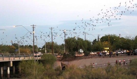 Campbell St Bridge Bats