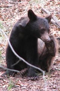 Bear: Ramsey Canyon. Photo by Liz Sockness.