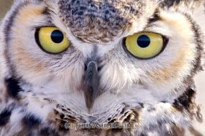 Great Horned Owl by John Ashley