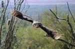 Great Horned Owl in free-flight at the Desert Museum.