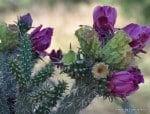 Purple Cholla Blossoms resized copy