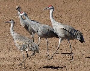 Sandhill Cranes at Whitewater Draw