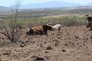 Slaughter Ranch Longhorn Bull