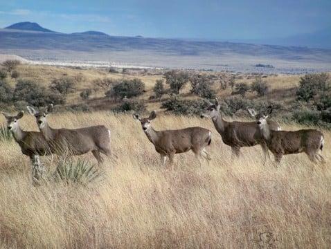 Deer grazing near Sonoita