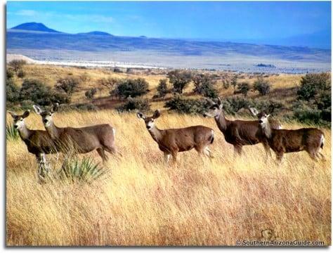 Deer in the grasslands near Sonoita. Photo by Sally Reichardt.