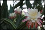 Tohono Chul Cactus Bloom