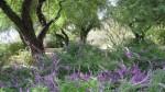 Tohono Chul Purple Blooms