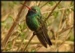 Broad-billed Hummingbird: Ramsey Canyon